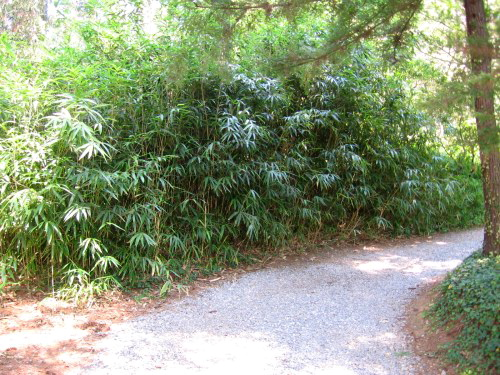 Bamboo (Pseudosasa japonica) on the Biltmore Estate