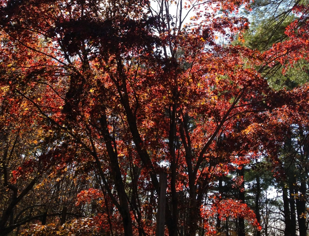 Japanese Maple in Front of the House