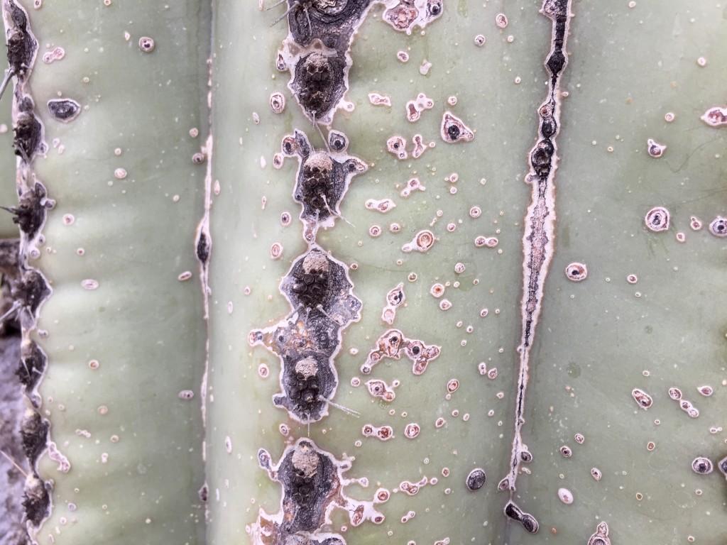 Tohono Chul park - The exterior of a Saquaro cactus - close-up - KDZ Designs