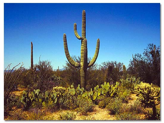 Saguaro Cactus -http://www.desertusa.com/cactus/saguaro-cactus.html